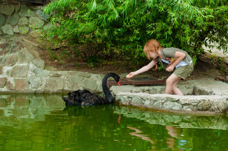 Little girl feeding a black swan in a pond photo