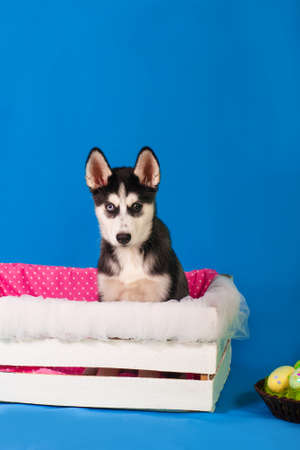 Husky puppy in a box with a basket of Easter eggs photo