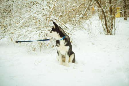 Husky puppy dog on snow in winter photo