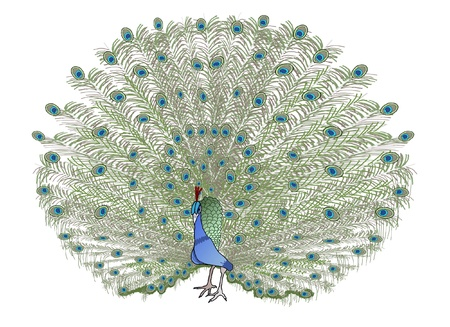 peafowl: A green male peacock opening its feathers Illustration