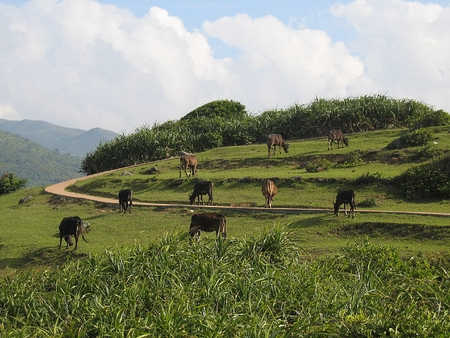 scattering: A group of scattering cows eating grass on a hill in Hong Kong country side