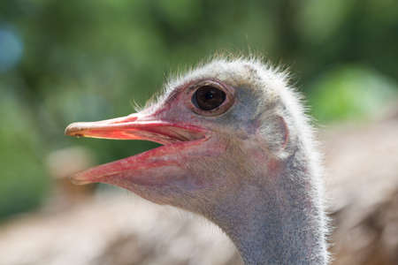 The picture of zooming into the head of ostrich. Stock Photo