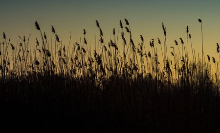 bullrush: Bulrush silhouette on the dusk