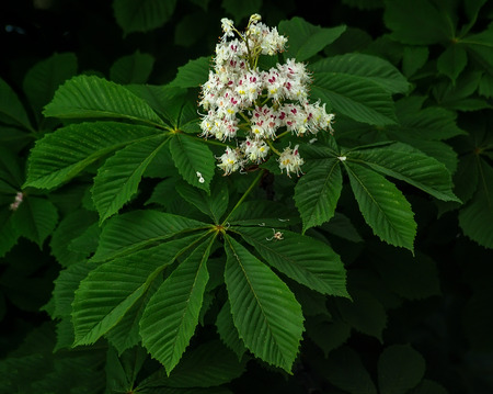 Chestnut tree blossoms on spring photo