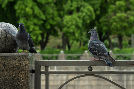 respond: Pigeon in love without respond