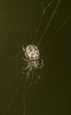 araneae: Spider on the web outdoor Stock Photo