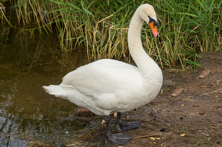 stays: Swan stays on the bank