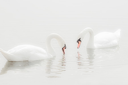 highlight: Couple of swans swimming on the lake highlight portrait Stock Photo