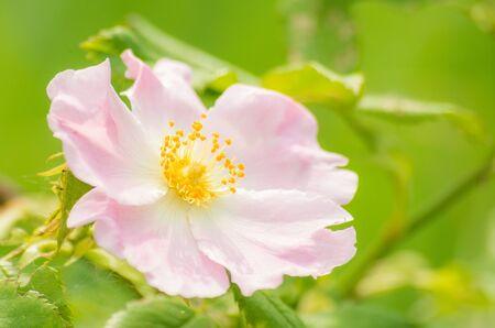Flowers of the wild rose, Ukraine Stock Photo