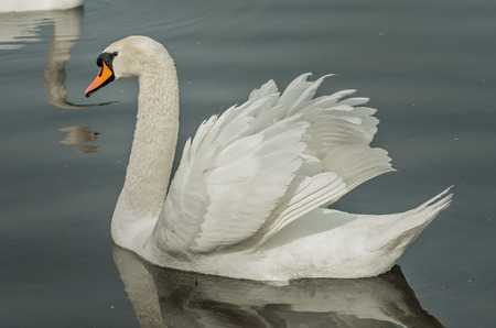 Graceful swan swims on water Stock Photo