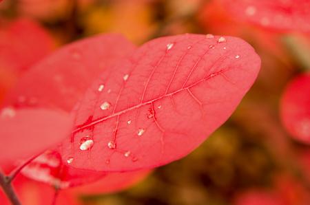 Close up Cotinus leaf with water drops Banco de Imagens
