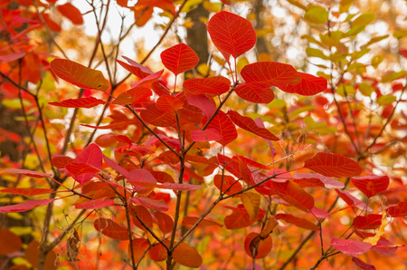 Cotinus branch with red leaves in autumn forest