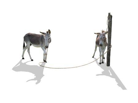 jack ass: Due bloccati asini con ombre su sfondo bianco (isolato)