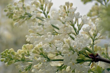 Beautiful flowers of white lilac. Close-up. May. Moscow