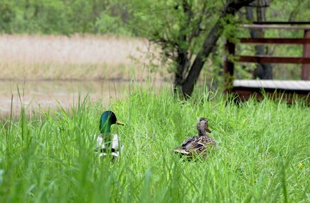 Couple Ducks resting in the grass on a sunny summer day