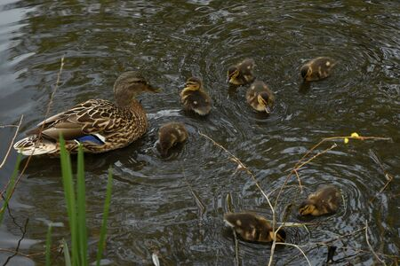 family of wild ducks on the water surface of the city pond