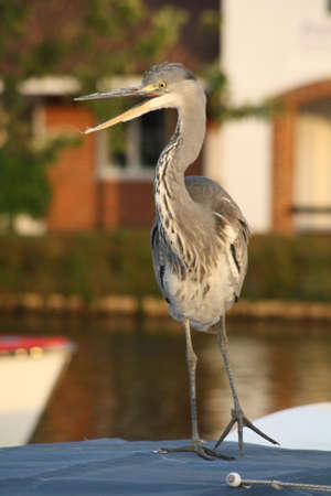 suprise: Heron caught on one leg, with beak wide open in suprise  Eyes yellow and striking Stock Photo