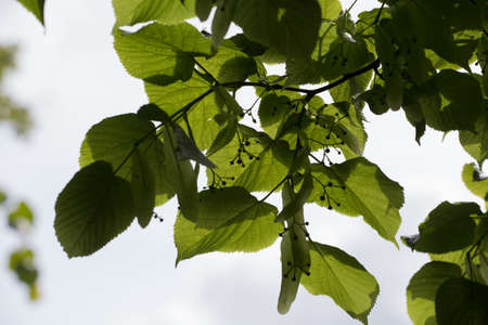 Cluster of lime (tilia or linden) tree leaves on a branch. Flower buds are beginning to emerge; it is late spring  early summer. Stock Photo