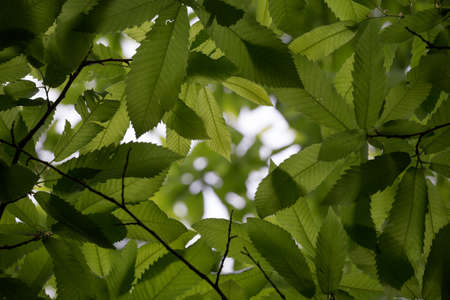 A dense cluster of sweet chestnut leaves. Detail shows veins and serrated edges of leaves. The scene is backlit by natural light, with a small gap in the canopy.