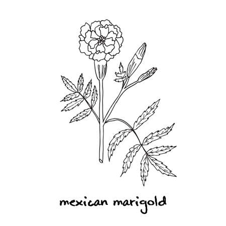 cempasuchil: Tagetes erecta, o la maravilla mexicana, ilustraci�n vectorial