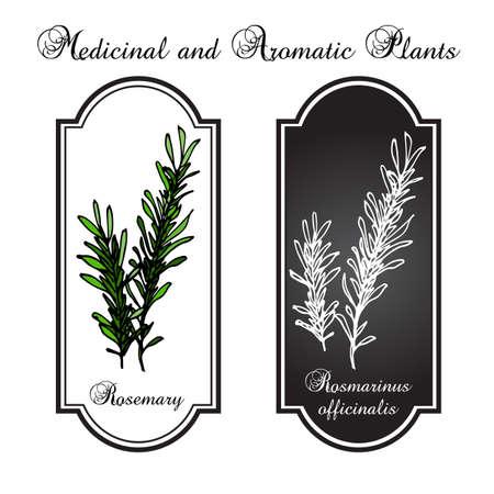 aromatic: aromatic herbs, rosemary, vector illustration