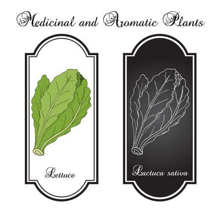 Ensalada de la lechuga. Dibujado a mano vegetal. ilustración vectorial