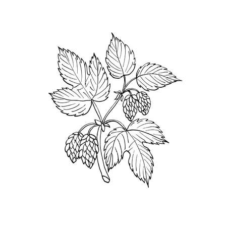 common hop: Common hop branch. Hand drawn vector illustration
