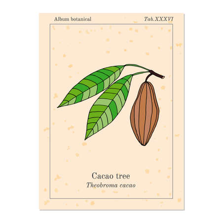 cacao: Cacao tree, old book page. Illustration