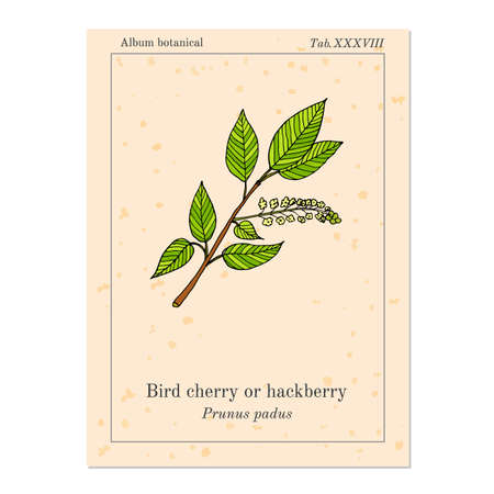 hack: bird cherry or hack berry, old book page. Illustration