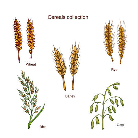 cereals: Set of cereals. Barley, rye, oats, rice and wheat.