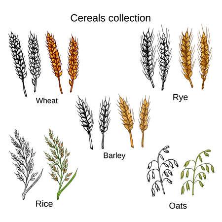 Set van granen. Gerst, rogge, haver, rijst en tarwe. Stock Illustratie