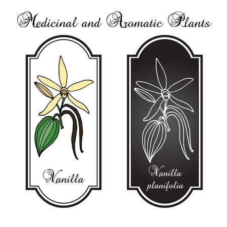 vainilla flor: Flor de vainilla. ilustración Vectores