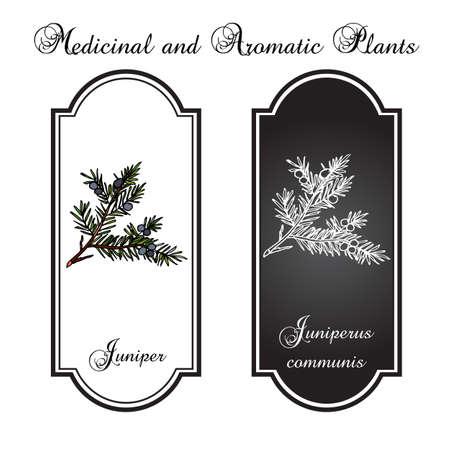 juniper: Branch of juniper. illustration