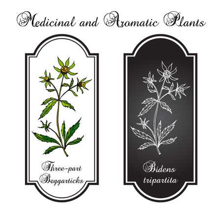 flower bath: Bur-marigold, Three-lobe Beggarticks, Three-part Beggarticks, Leafy-bracted Beggarticks or Trifid Bur-marigold. medicinal herb. illustration