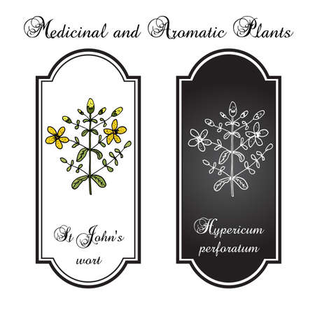 wort: St. Johns wort (Hypericum perforatum) Illustration