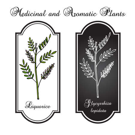 legume: illustration of liquorice plant