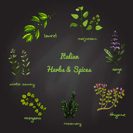 sage: Italian herbs and spices - winter savory, laurel, marjoram, oregano, rosemary, sage, thyme. Vector illustration Illustration
