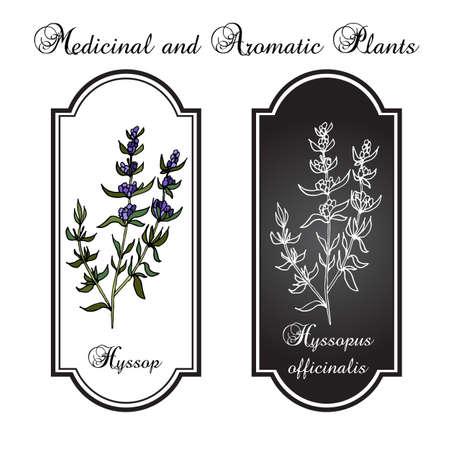 hyssop: aromatic herbs, hyssop, vector illustration