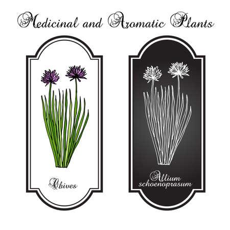 chives: Chives herb, vector illustration Illustration