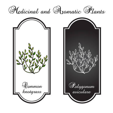 Common knotgrass, medicinal plant. Vector illustration
