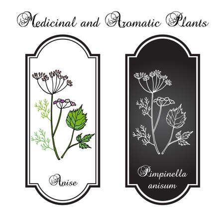 anise: Aromatic herbs, anise, vector illustration