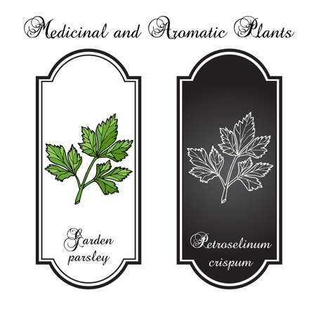 potherb: Aromatic herbs, parsley. Vector illustration Illustration