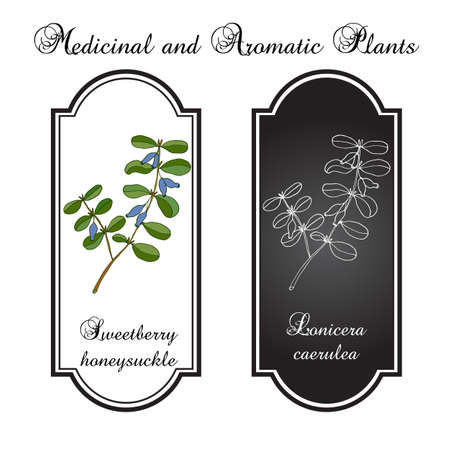 honeysuckle: Honeysuckle branch with blue ripe berries Illustration