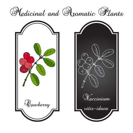 foxberry: Wild forest ripe cowberries and leaves. Vector illustration
