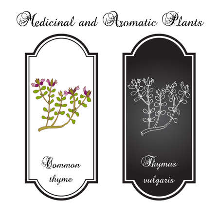 aromatic: Thyme, aromatic herbs collection. Vector illustration Illustration