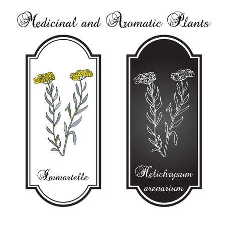 dwarf: Immortelle (Helichrysum arenarium, or dwarf everlast), medicinal plant. Vector illustration