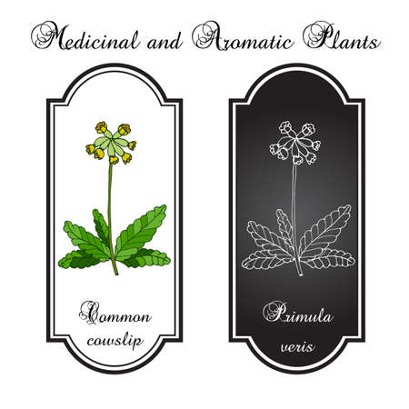 primula veris: Primula veris (cowslip, common cowslip), medicinal plant. Vector illustration Illustration