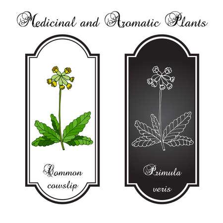 Primula veris (cowslip, common cowslip), medicinal plant. Vector illustration Ilustração