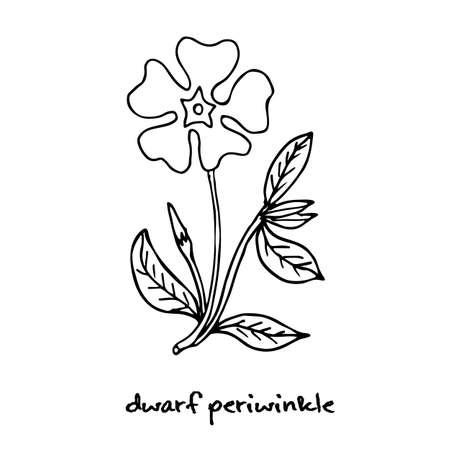 dwarf: Dwarf periwinkle, or Vinca minor, vector illustration