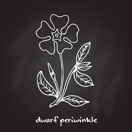 to minor: Dwarf periwinkle, or Vinca minor, vector illustration